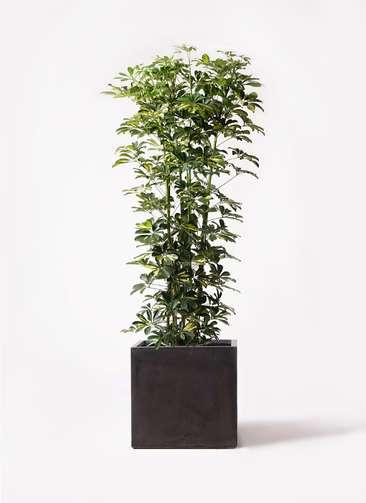 観葉植物 カポック(シェフレラ) 10号 斑入り ファイバークレイ キューブ 付き
