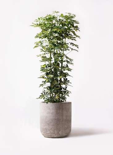 観葉植物 カポック(シェフレラ) 10号 斑入り エルバ 白 付き