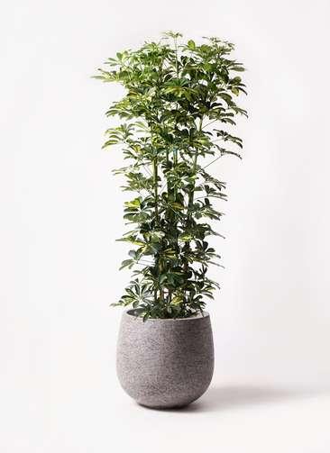 観葉植物 カポック(シェフレラ) 10号 斑入り エコストーンGray 付き