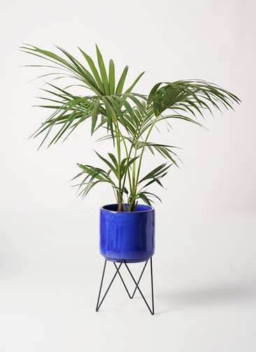 観葉植物 ケンチャヤシ 8号 ビトロ エンデカ 鉢カバースタンド付 ブルー 付き