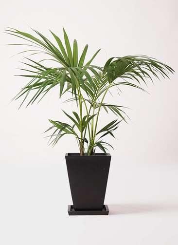 観葉植物 ケンチャヤシ 8号 パウダーストーン 黒 付き