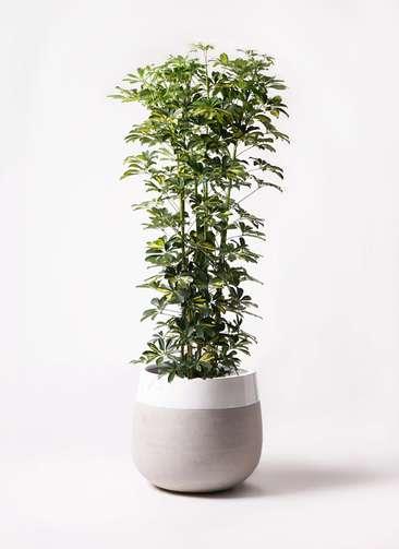 観葉植物 カポック(シェフレラ) 10号 斑入り ファイバーストーンタウルス ミドル 白 付き