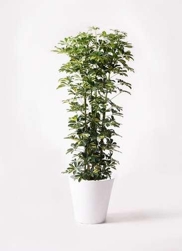 観葉植物 カポック(シェフレラ) 10号 斑入り フォリオソリッド 白 付き