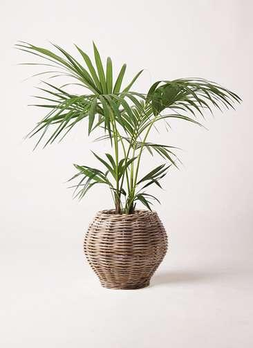 観葉植物 ケンチャヤシ 8号 グレイラタン 付き
