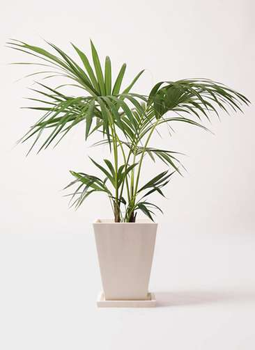 観葉植物 ケンチャヤシ 8号 パウダーストーン 白 付き