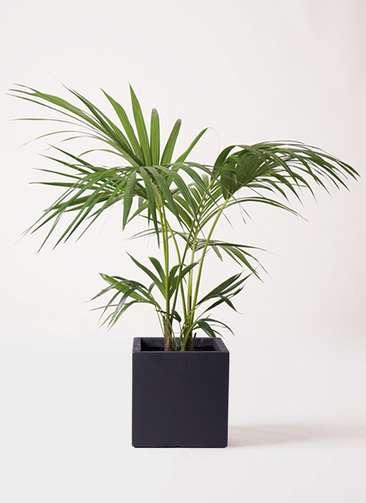 観葉植物 ケンチャヤシ 8号 ベータ キューブプランター 黒 付き