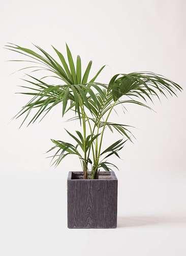 観葉植物 ケンチャヤシ 8号 ベータ キューブプランター ウッド 茶 付き