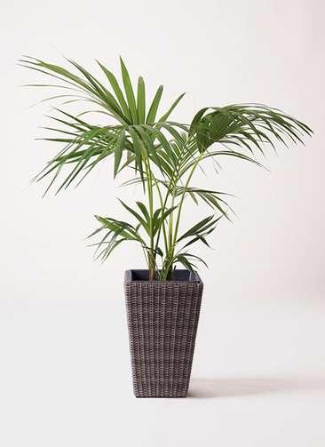 観葉植物 ケンチャヤシ 8号 ウィッカーポット スクエアロング OT 茶 付き