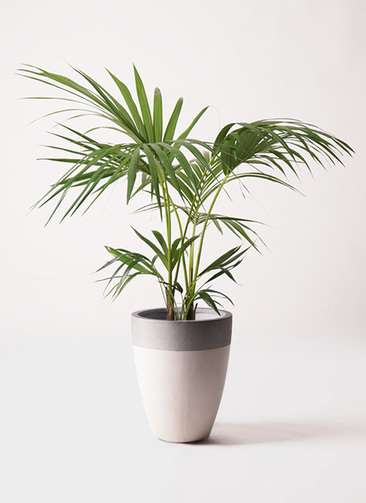 観葉植物 ケンチャヤシ 8号 ファイバーストーンカプリ サンディホワイト 付き