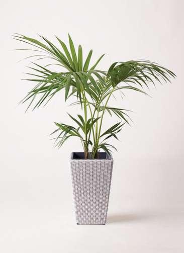 観葉植物 ケンチャヤシ 8号 ウィッカーポット スクエアロング OT 白 付き