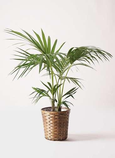 観葉植物 ケンチャヤシ 8号 竹バスケット 付き