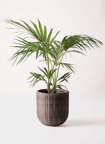 観葉植物 ケンチャヤシ 8号 ウィッカーポットエッグ 茶 付き