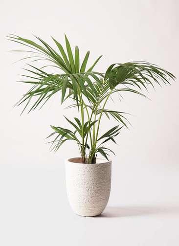 観葉植物 ケンチャヤシ 8号 ビアスアルトエッグ 白 付き
