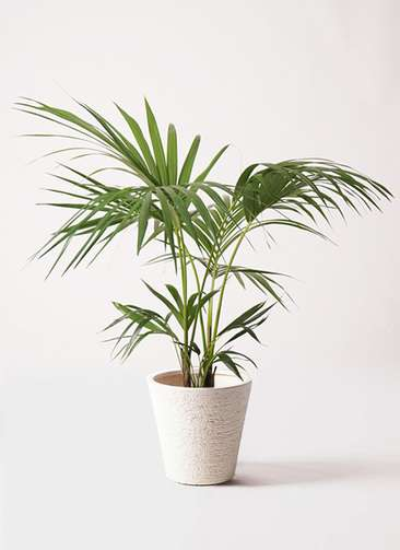 観葉植物 ケンチャヤシ 8号 ビアスソリッド 白 付き