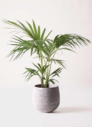 観葉植物 ケンチャヤシ 8号 エコストーンGray 付き