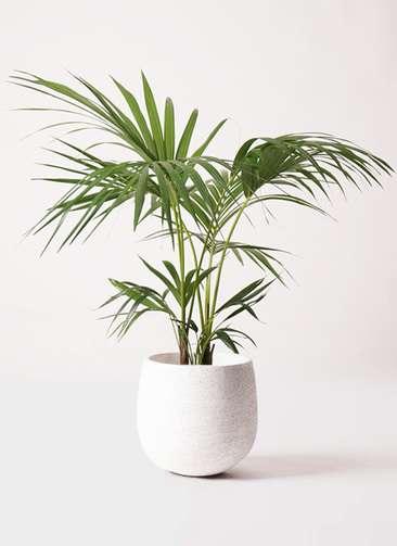 観葉植物 ケンチャヤシ 8号 エコストーンwhite 付き
