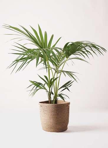 観葉植物 ケンチャヤシ 8号 リブバスケットNatural 付き