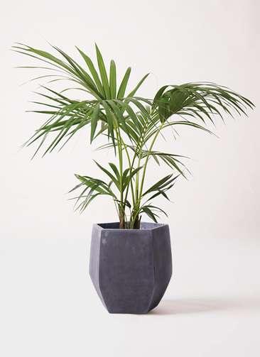 観葉植物 ケンチャヤシ 8号 ファイバークレイ Gray 付き