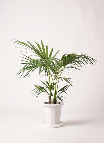観葉植物 ケンチャヤシ 8号 プラスチック鉢