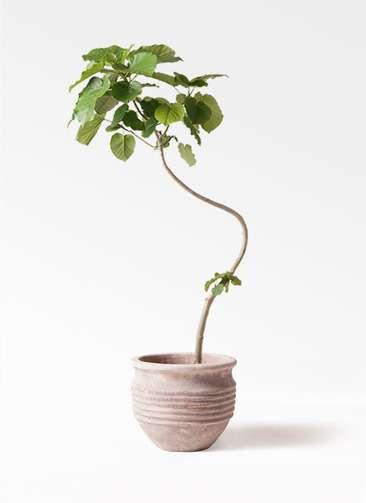 観葉植物 フィカス ウンベラータ 8号 曲り テラアストラ リゲル 赤茶色 付き