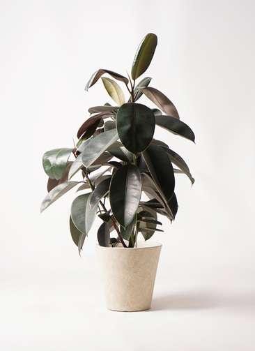 観葉植物 フィカス バーガンディ 8号 ノーマル フォリオソリッド クリーム 付き