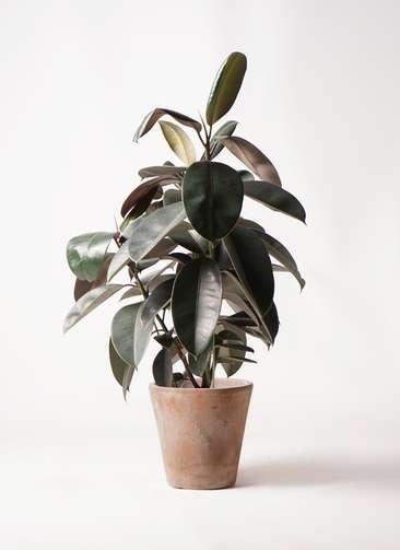観葉植物 フィカス バーガンディ 8号 ノーマル ルーガ アンティコ ソリッド 付き