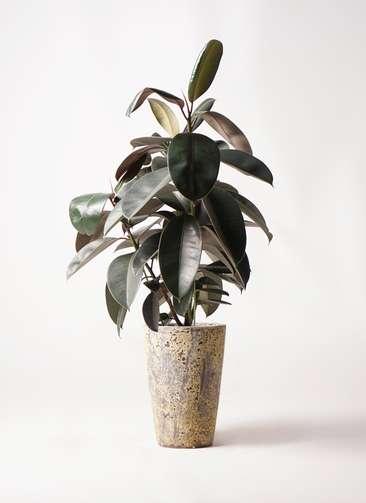 観葉植物 フィカス バーガンディ 8号 ノーマル アトランティス クルーシブル 付き