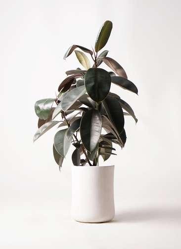 観葉植物 フィカス バーガンディ 8号 ノーマル バスク ミドル ホワイト 付き