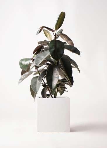 観葉植物 フィカス バーガンディ 8号 ノーマル バスク キューブ 付き