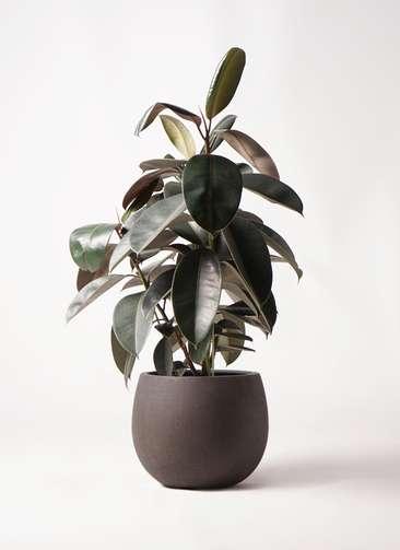 観葉植物 フィカス バーガンディ 8号 ノーマル テラニアス ローバルーン アンティークブラウン 付き