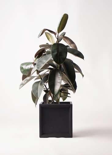 観葉植物 フィカス バーガンディ 8号 ノーマル ブリティッシュキューブ 付き