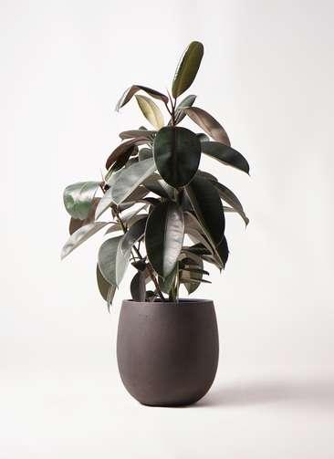 観葉植物 フィカス バーガンディ 8号 ノーマル テラニアス バルーン アンティークブラウン 付き