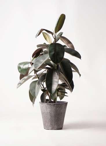 観葉植物 フィカス バーガンディ 8号 ノーマル フォリオソリッド ブラックウォッシュ 付き