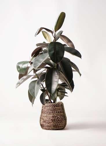 観葉植物 フィカス バーガンディ 8号 ノーマル リゲル 茶 付き