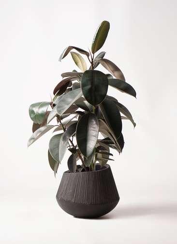 観葉植物 フィカス バーガンディ 8号 ノーマル エディラウンド 黒 付き