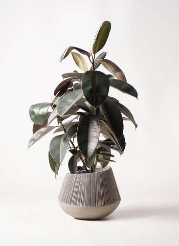 観葉植物 フィカス バーガンディ 8号 ノーマル エディラウンド グレイ 付き