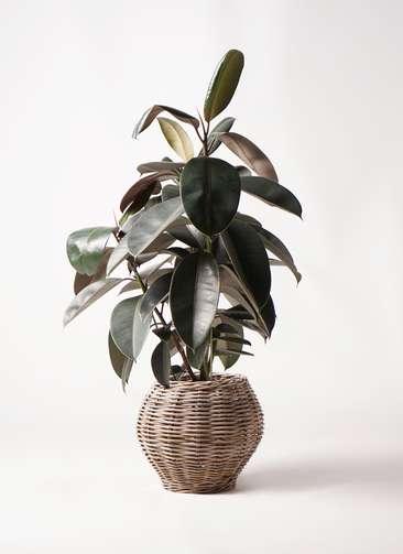 観葉植物 フィカス バーガンディ 8号 ノーマル グレイラタン 付き