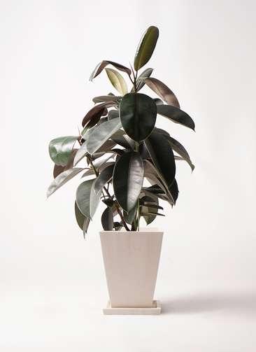 観葉植物 フィカス バーガンディ 8号 ノーマル パウダーストーン 白 付き