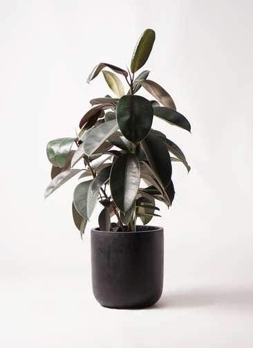 観葉植物 フィカス バーガンディ 8号 ノーマル エルバ 黒 付き