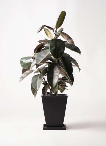 観葉植物 フィカス バーガンディ 8号 ノーマル パウダーストーン 黒 付き