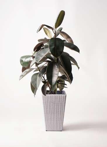 観葉植物 フィカス バーガンディ 8号 ノーマル ウィッカーポット スクエアロング OT 白 付き