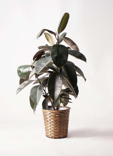 観葉植物 フィカス バーガンディ 8号 ノーマル 竹バスケット 付き