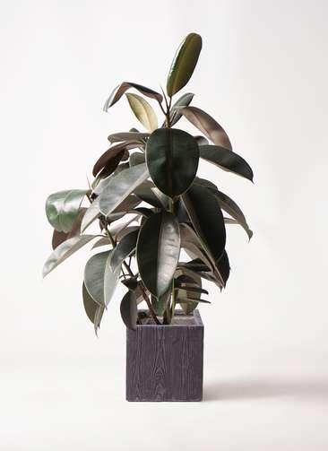 観葉植物 フィカス バーガンディ 8号 ノーマル ベータ キューブプランター ウッド 茶 付き