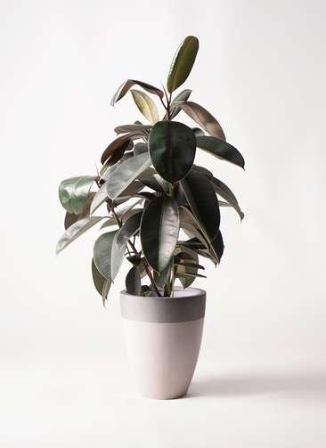 観葉植物 フィカス バーガンディ 8号 ノーマル ファイバーストーンカプリ サンディホワイト 付き