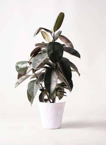観葉植物 フィカス バーガンディ 8号 ノーマル フォリオソリッド 白 付き