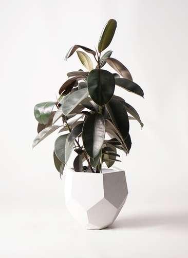 観葉植物 フィカス バーガンディ 8号 ノーマル ポリゴヘクサ 白 付き