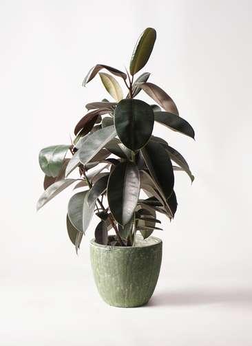 観葉植物 フィカス バーガンディ 8号 ノーマル アビスソニアミドル 緑 付き