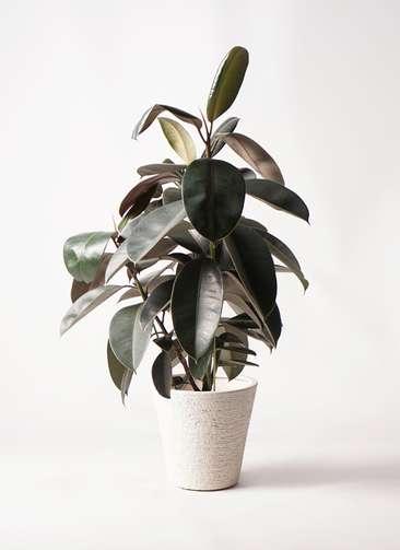 観葉植物 フィカス バーガンディ 8号 ノーマル ビアスソリッド 白 付き
