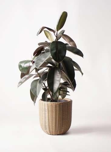 観葉植物 フィカス バーガンディ 8号 ノーマル ウィッカーポットエッグ ベージュ 付き