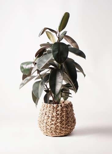 観葉植物 フィカス バーガンディ 8号 ノーマル ラッシュバスケット Natural 付き